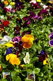 Pansies for sale. For planting in spring Royalty Free Stock Photography