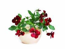 Pansies, seleção imagem de stock