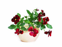 Pansies, selezione Immagine Stock