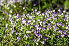 Pansies selvagens, viola tricolor, florescendo em uma rocha imagem de stock