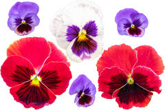 Pansies set isolated on white background. Viola tricolor red blue yellow macro closeup Royalty Free Stock Photography