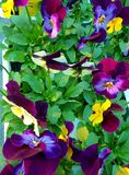Yellow, purple and indigo pansies with green foliage, photographed in Bloemfontein, South Africa