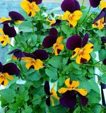 Yellow and dark purple a pansies with green foliage, photographed in Bloemfontein, South Africa