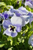 Pansies. Spring blooming pansies in growing bed Royalty Free Stock Photo