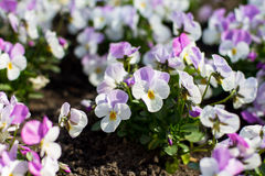 Pansies in the spring. Pansies flowers in the spring Royalty Free Stock Image