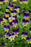 Pansies in a spring garden Stock Photos