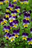 Pansies in a spring garden Stock Photos
