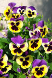 Pansies in springtime blossom Royalty Free Stock Photos