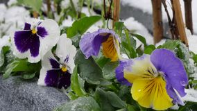 Garden  after sudden snowfall in april stock footage