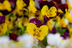 Pansies. By a sunny spring day Royalty Free Stock Photo