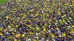 Pansies (tricolor viola) απόθεμα βίντεο