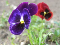 Pansies. Two (purple and red) pansies Royalty Free Stock Photos