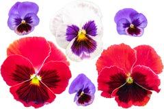 Pansies ustawiający odizolowywającymi na białym tle Altówki tricolor czerwony błękitny żółty makro- zbliżenie Fotografia Royalty Free