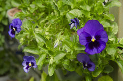 Pansies. (Viola × wittrockiana). Close up Stock Images