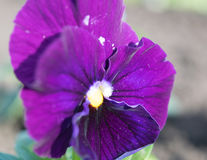 Pansies, viola folio. Bright, saturated with close-ups Stock Images