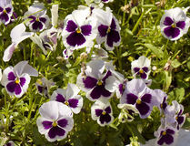 Pansies (viola tricolor) Royalty Free Stock Photography