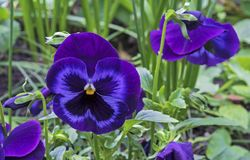 Pansies, viola tricolor ou a violeta de Vittrok no fundo das folhas verdes foto de stock royalty free