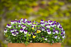 Pansies (Viola tricolor). A wooden, painted box filed with pansies (Viola tricolor). Blurred background Royalty Free Stock Photography