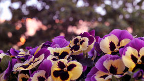 Pansies Royalty Free Stock Images