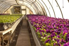 Pansies. Violet pansies in full bloom in a greenhouse nursery Royalty Free Stock Images