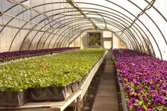Pansies. Violet pansies in full bloom in a greenhouse nursery Stock Photos