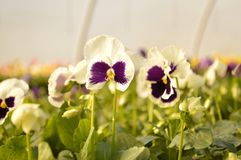 Pansies. Violet pansies in full bloom in a greenhouse nursery Stock Image