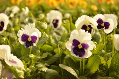 Pansies. Violet pansies in full bloom in a greenhouse nursery Royalty Free Stock Photo