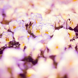 Pansies violetas Fotos de Stock