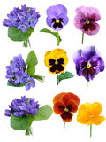 Pansies Violets flowers. It is isolated on a white background stock photos