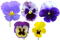 Pansies Violets flowers. It is isolated on a white background stock photo