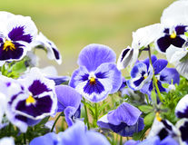 Pansies w flowerbed w wiośnie Zdjęcia Stock
