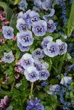 Pansies w Monet ogródzie przy Giverny, Normandy, Francja zdjęcia stock