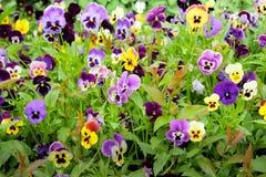 Pansies w ogródzie Fotografia Royalty Free