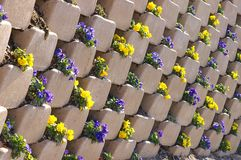Pansies in a wall. Pansies planted in a retaining wall Stock Image