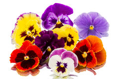 Pansies on  white. Different Pansies  on a white background Royalty Free Stock Photos