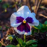 Pansies with a wide variety of colors Royalty Free Stock Photo