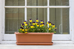 Pansies on a Window Sill Stock Photos