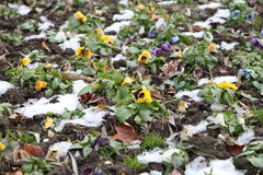 Pansies in winter. Pansies growing on icy ground royalty free stock photo