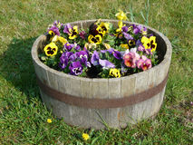 Pansies in a wooden tub Stock Images