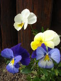 Pansies. Yellow and blue pansies in the garden, with wooden fence background Royalty Free Stock Photo