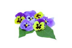 Pansies. Yellow and purple pansies over white background Royalty Free Stock Photos