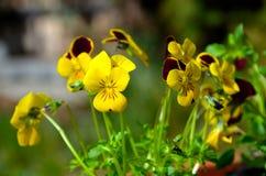 Pansies. Yellow Pansies in Spring. Macro picture Stock Photo