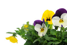 Pansies Fotografia Stock