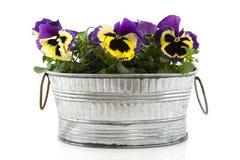 Pansies in zinc bucket Stock Images