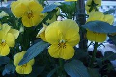 Pansy żółty kwiat obrazy royalty free