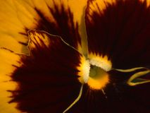 pansy κίτρινος στοκ εικόνες