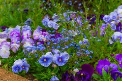 pansy λουλούδια ή pansies floral υπόβαθρο στοκ εικόνες