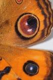 Pansy πεταλούδα Peacock Στοκ Εικόνες
