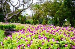 Pansy, πορφυρά λουλούδια Στοκ εικόνες με δικαίωμα ελεύθερης χρήσης