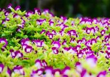 Pansy, πορφυρά λουλούδια Στοκ Εικόνες